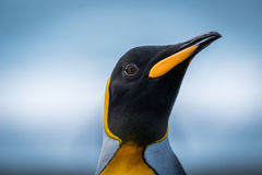 Close-up of king penguin head and neck Royalty Free Stock Photos