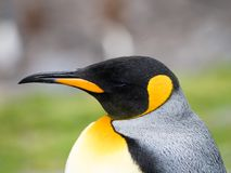 Close Up of King Penguin with Rain Drops. Close up of the head and chest of an adult king penguin with rain drops on its dramatic black, yellow, gold and orange