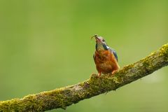 Close up of a Kingfisher Alcedo atthis eating fish Royalty Free Stock Image