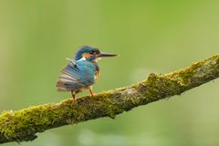 Close up of a Kingfisher Alcedo atthis preening Royalty Free Stock Photo