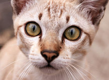 Close-up kitten eyes Royalty Free Stock Image