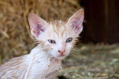 Close-up of kitten with fleas Royalty Free Stock Image