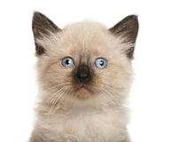 Close-up of a Kitten Royalty Free Stock Photos