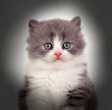 Close-up Of A Kitten Royalty Free Stock Photography