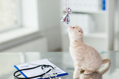 Close up of kitten playing with bow at vet clinic Royalty Free Stock Photos