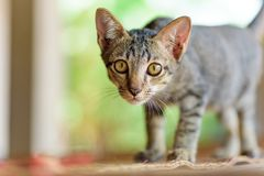 Close up of kitten standing royalty free stock photo