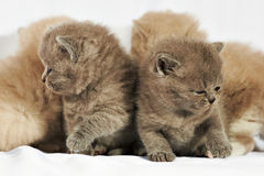 Close up kittens Royalty Free Stock Image