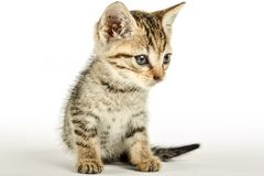 Close up of a kittie. Little cat over a white studio background Stock Image