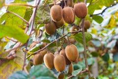 Close-up of kiwi fruits on kiwi plantation in Casas del Puente, Asturias royalty free stock photography