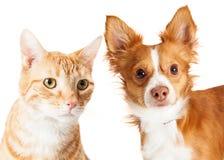 Close-up Kleine Hond en Tabby Cat Stock Afbeeldingen