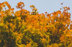 Close-up Kleurrijk Autumn Maple Leaves met Vaag Verlof Vintag Stock Fotografie