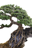Close up of a knobby trunk. Of an old Snowrose Bonsai tree Stock Photo