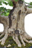 Close up of a knobby trunk Royalty Free Stock Image