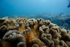 Close-up of knobs of soft coral on reef in Caribbean Stock Photo