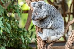 Close up of Koala Bear or Phascolarctos cinereus, climbing a tree branch, lookin down. Close up of Koala Bear or Phascolarctos cinereus, climbing a tree branch royalty free stock photography