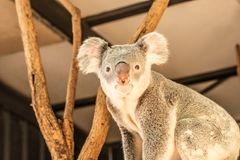 Close up of Koala Bear or Phascolarctos cinereus, high up in tree. And looiking at camera royalty free stock images