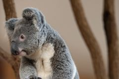 Close up of Koala Bear or Phascolarctos cinereus, sitting on branch looking to left. With blurred backgriubd stock photos