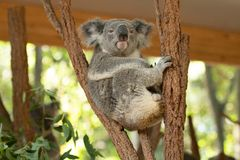 Close up of Koala Bear or Phascolarctos cinereus, sitting high up in branch and leaning back on another branch. Close up of Koala Bear or Phascolarctos cinereus royalty free stock photos