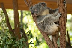 Close up of Koala Bear or Phascolarctos cinereus, sitting high up in branch and leaning back on another branch. Looking to left, with green blurred background royalty free stock photo