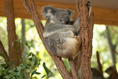 Close up of Koala Bear or Phascolarctos cinereus, sitting high up in branch and leaning back on another branch. Looking to right stock images