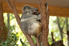 Close up of Koala Bear or Phascolarctos cinereus, sitting high up in branch and leaning back on another branch. Looking to right royalty free stock photography