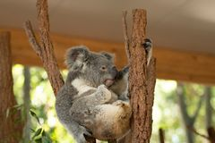 Close up of Koala Bear or Phascolarctos cinereus, sitting high up in branch and leaning back on another branch. Grooming his foot stock images