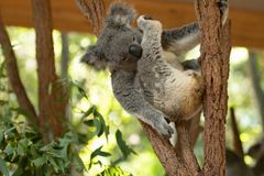 Close up of Koala Bear or Phascolarctos cinereus, sitting high up in branch and leaning back on another branch. And grooming his leg royalty free stock photography