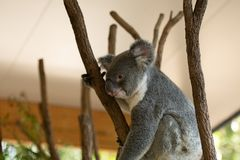 Close up of Koala Bear or Phascolarctos cinereus, sitting high up. In branch looking down royalty free stock images