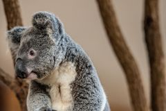 Close up of Koala Bear or Phascolarctos cinereus, sitting on top of tree. Branch looking left stock photos