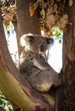 Close up of Koala bear in tree Stock Photo