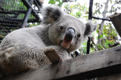 Close up of koala bear in zoo Royalty Free Stock Photo