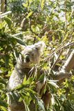 Sydney, NSW/Australia: Koala Sleeping on its Eucalyptus tree royalty free stock photography