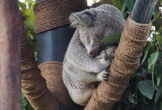 Close-up of Koala on Tree Stock Images