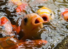 Close up koi fish. In the fish pond Royalty Free Stock Photos