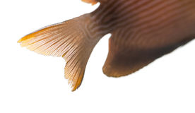 Close-up of a Kole Tang caudal fin, Ctenochaetus strigosus. Isolated on white royalty free stock photography