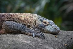 Komodo Dragon. Close up of a Komodo Dragon`s resting on a boulder royalty free stock image