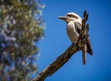 Close up of Kookaburra stock photo