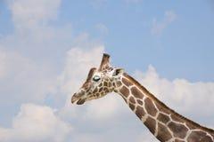 Close-up of Kordofan giraffe or Giraffa camelopardalis. Antiquorum also known as the Central African giraffe Stock Photography