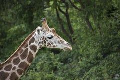 Close-up of Kordofan giraffe or Giraffa camelopardalis. Antiquorum also known as the Central African giraffe Royalty Free Stock Photos