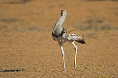 Close-up of a Kori bustard Royalty Free Stock Photography