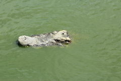 Close-up Krokodyl Zdjęcie Royalty Free