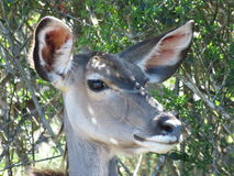A close up of a Kudu female. A close up of a Kudu female in Africa, in the Addo Elephant National Park, in South Africa Stock Images