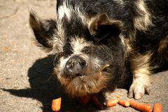 Kunekune pig at the meal royalty free stock photography