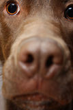 Close up of a labrador dog. Face Stock Images