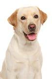 Close-up of a Labrador Stock Photography