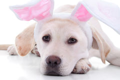 Easter Bunny Dog. Easter bunny Labrador puppy dog closeup Royalty Free Stock Image