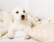 Close up of Labrador puppy lying on the sofa with pillow Stock Images