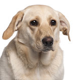 Close-up of Labrador Retriever, 11 months old Stock Photography
