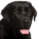Close-up of Labrador Retriever, 3 years old Stock Photo