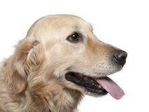 Close-up of Labrador retriever, 4 years old Royalty Free Stock Images